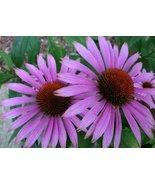 PURPLE CONEFLOWER ECHINACEA FLOWER SEEDS - 100 ... - $1.49