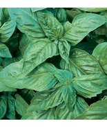 LARGE LEAF SWEET ITALIAN BASIL SEEDS - 100 FRES... - $1.49
