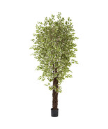 7.5' Variegated Green White Mini Ficus w/4131 L... - $202.94