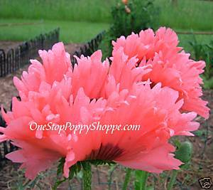 20 Oriental Poppy Flower Seeds Fancy Feathers Papaver
