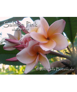 Very Rare & Exotic Fragrant Thai *Salmon Pink* ... - $17.95