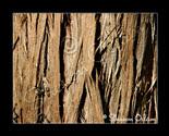 Ms_071_cedar-tree_web_thumb155_crop
