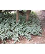 FIVE (5) ROOTED VINCA MAJOR PLANTS (PERIWINKLE)... - $5.00
