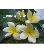 SALE! Rare & Exotic!  Very Fragrant *Lemon Ade... - $9.95