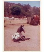 Vintage Photograph Beautiful APPALOOSA 5x7 Colo... - $12.74