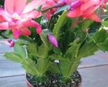 Plantschristmascactus_thumb155_crop