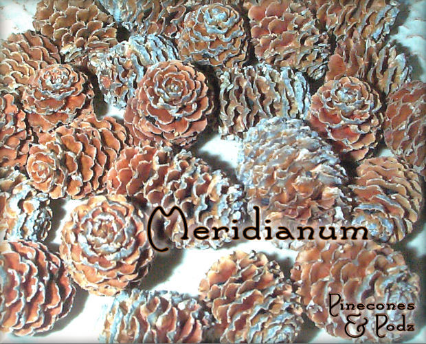Pinecones - Exotic Meridianum Cones - 50 count