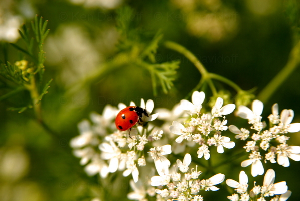 Ladybug, at Shenandoah National Park, Va, Limited Edition 10x15