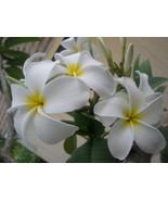 Rare Big Flower *White Dove* (symbol of Peace) ... - $12.95