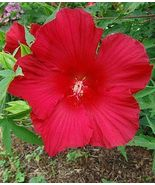 Hardy Hibiscus Lord Baltimore H.moscheutos Pie-Plate Red Blooms Perennial