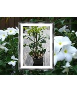 RARE! 3 Well-Rooted cuttings Pudica Plumeria Li... - $15.95