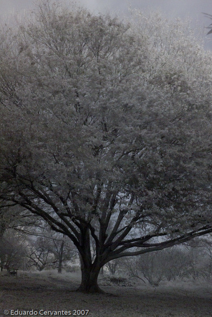 The White Tree - Original Fine Art Photography (Infrared Ser