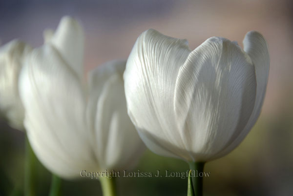 White-tulips