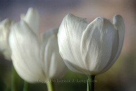 White-tulips_thumb200