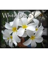 SALE Rare Exotic Fragrant Big ~ White Dove~ Plu... - $14.95