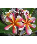 SALE Very Rare & Exotic ~ Candy Stripe~ Plumeri... - $17.95