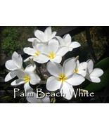 Rare & Exotic! Fragrant *Palm Beach White* Plum... - $9.95