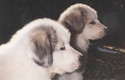 2_pups_head_300_x_202_