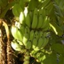 Banana_bunch_island_2006__2_thumb128