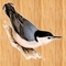 Nuthatch3_thumb48