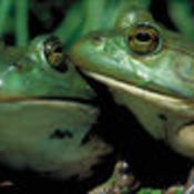 Gal_frog_american_bullfrog_thumb175