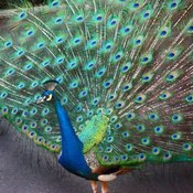 Peacock_3_thumb175