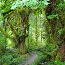 Hoh_rain_forest_1_thumb128