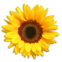 Sunflower_white_cmc_thumb128