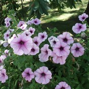 Petunias_summer_2011_thumb175