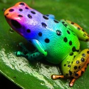 Rainbow_frog_by_catfishy93_1__thumb175