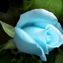 Blue_rose_thumb128
