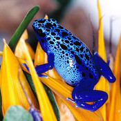 Frog_blue_bird_of_paradise_flower_thumb175