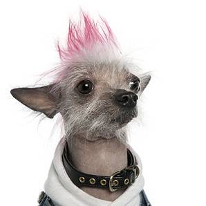 Dyeing your dogs hair is a bad idea1