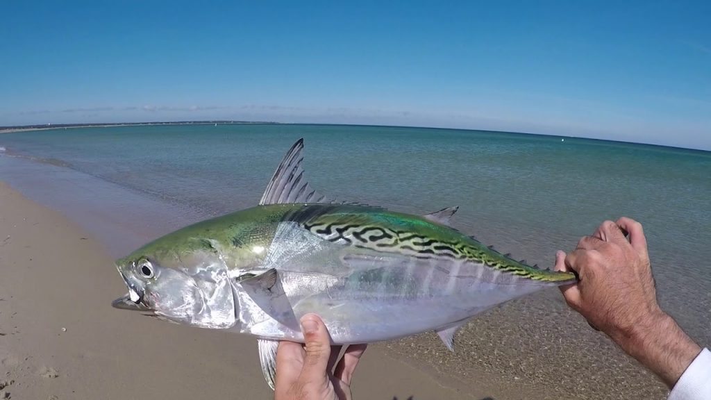 Fishing for Finicky Pelagic Fish on Crystal Clear Sand Flats