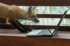 fox blogger