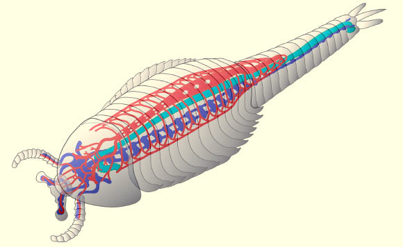 A schematic reconstruction of Fuxianhuia protensa, outlining the cardiovascular system in red, the brain and central nervous system in blue and the gut in green. Image credit: Nicholas Strausfeld.