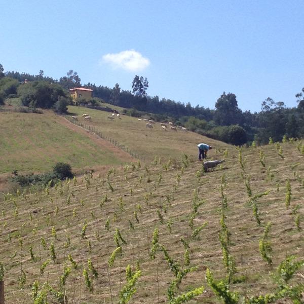 future El Pendo vineyard