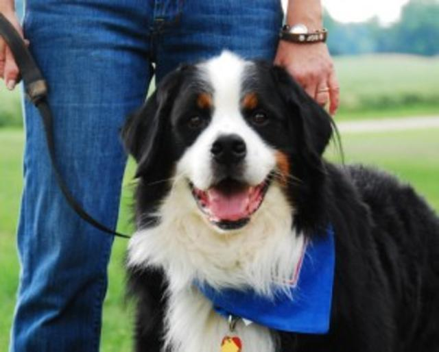 Bumper, Bernese Mountain Dog