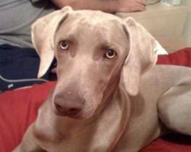 Hurley, Weimaraner for Adoption
