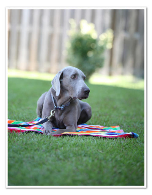 Trey – Adoptable Weimaraner Dog