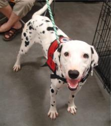 Sequioa, Adoptable Dalmatian