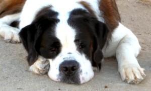 Rocky, Adoptable Saint Bernard