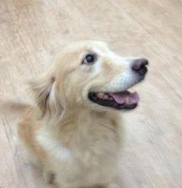 Amber, Adoptable Golden Retriever