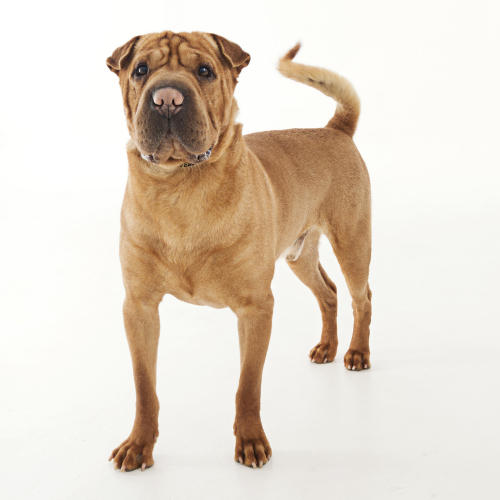 Mister, Adoptable Shar-Pei