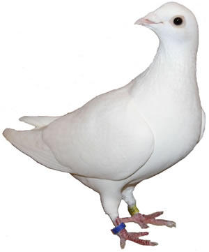 Live Courier Pigeon 