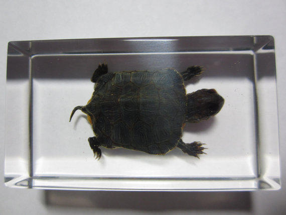 Red-Eared Slider Hatchling Paperweight