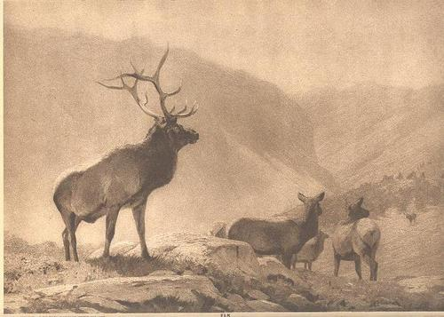 Elk Deer Photogravure