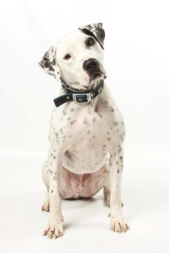 Racer, Adoptable Dalmatian Mix
