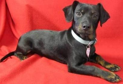 Ramsey, Adoptable Dachshund/Miniature Pinscher