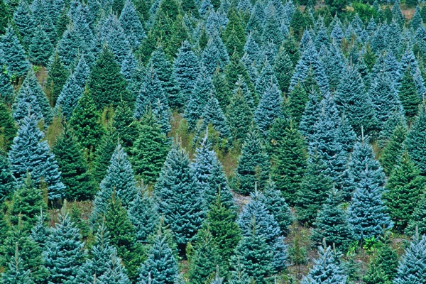 Monmouth County Christmas Tree Farms Open